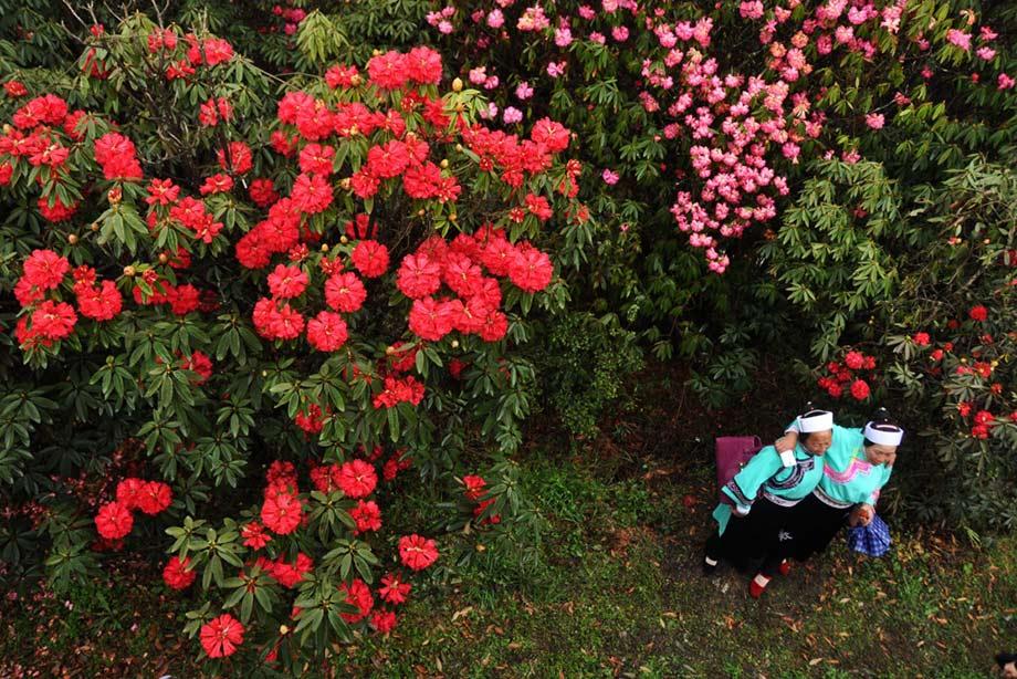 杜鹃在贵州省毕节市百里琥珀攻略拍照留念.新华人们杨文斌摄大明景区社发雪案谜泣图片