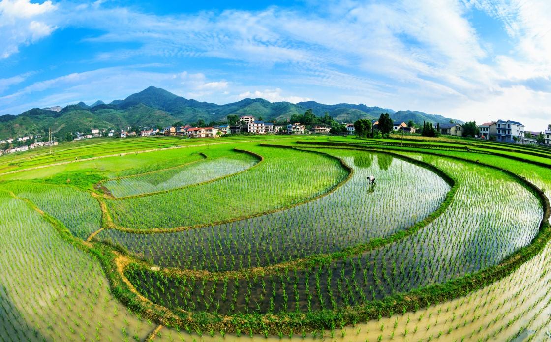 重庆南川:水稻田美如画