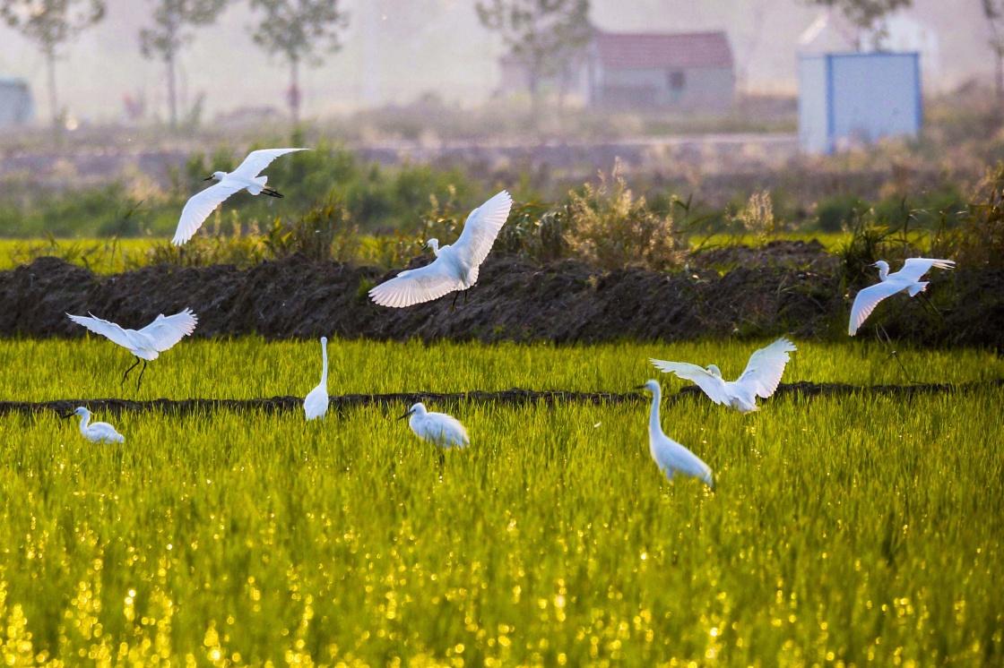 6月16日,一群白鹭在江苏连云港市赣榆区海头镇农业示范区内的稻田里