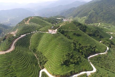 漳州有机茶1.jpg