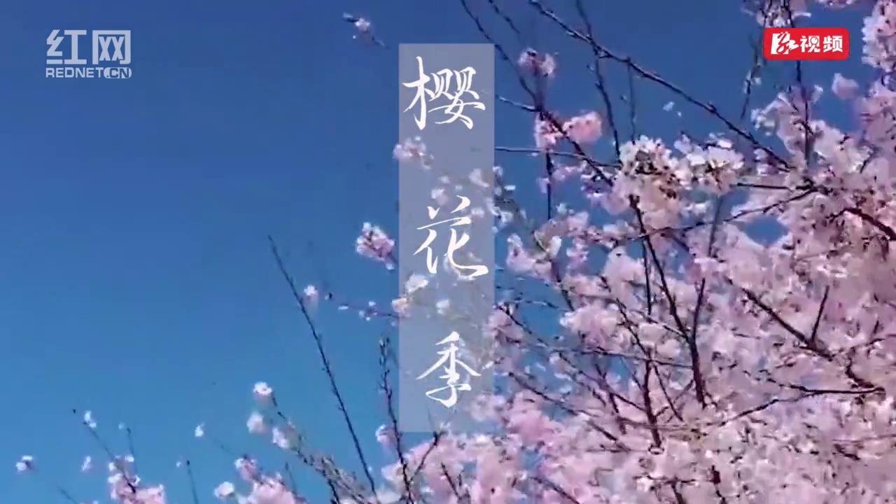 《樱花季》[封面图].jpg
